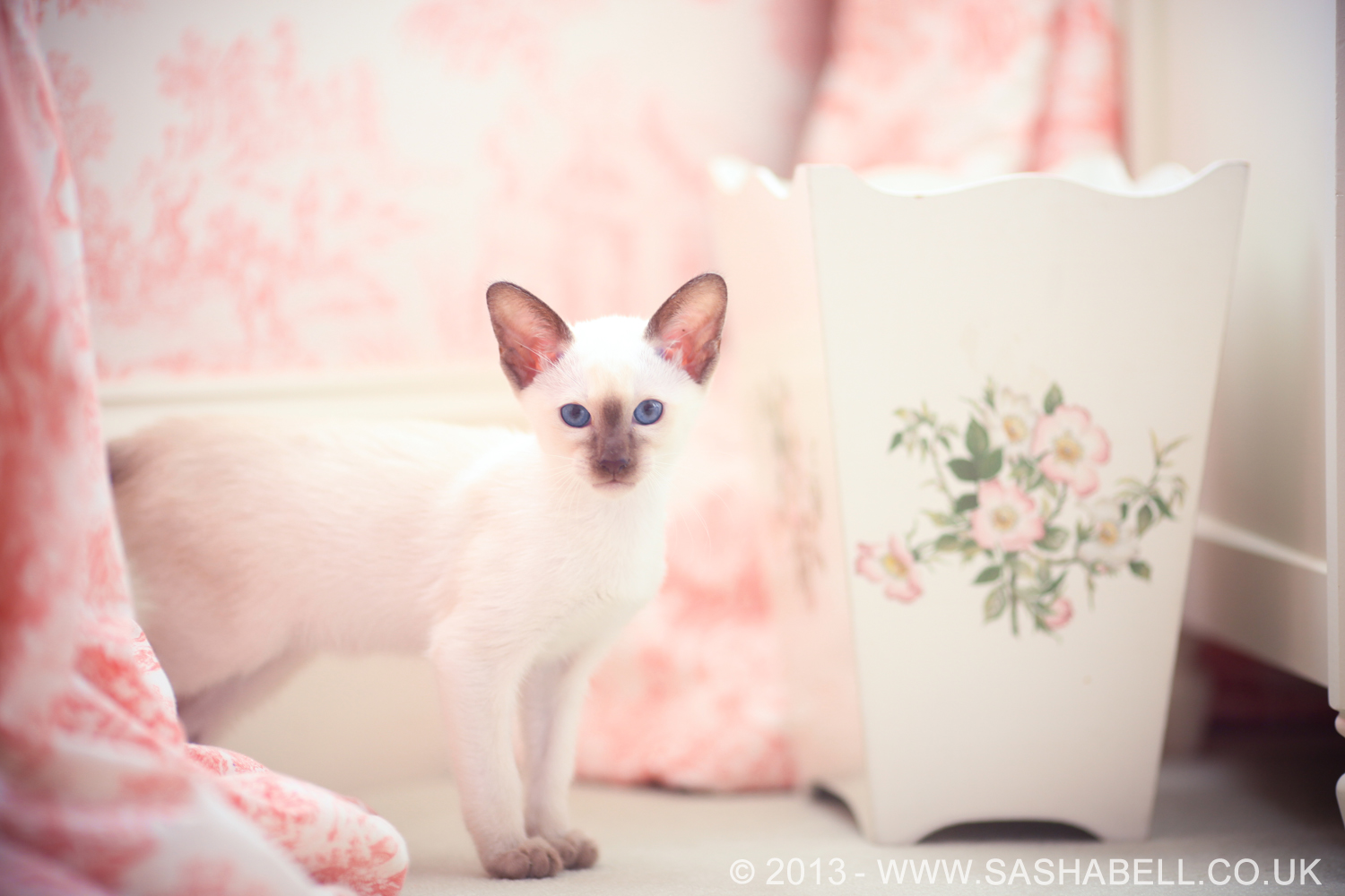 Siamese Kitten – Day 145/365