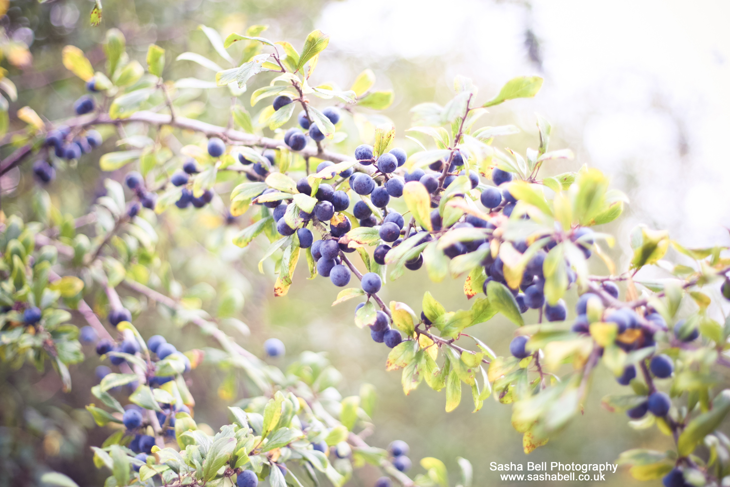 Sloes for Sloe Gin #6 of #50