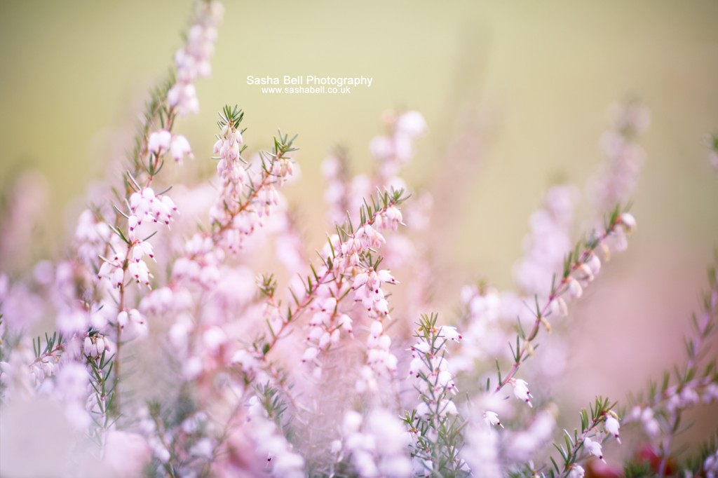 Soft Heather - Day 160/365