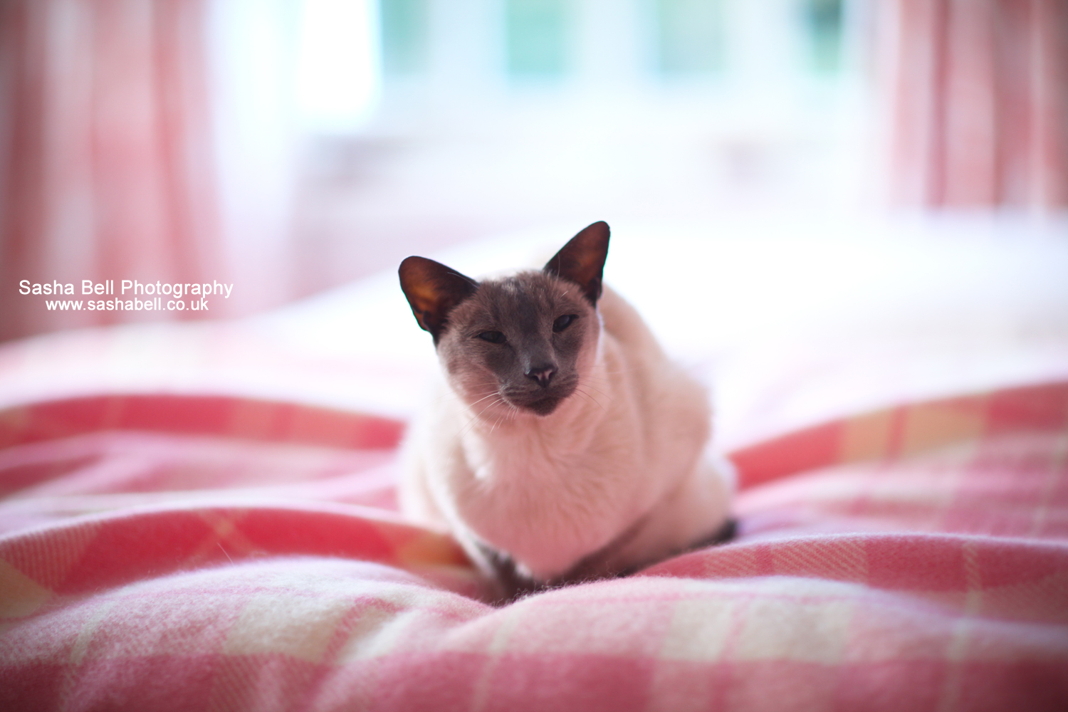 My Siamese Cat – Moonlight (photo series)