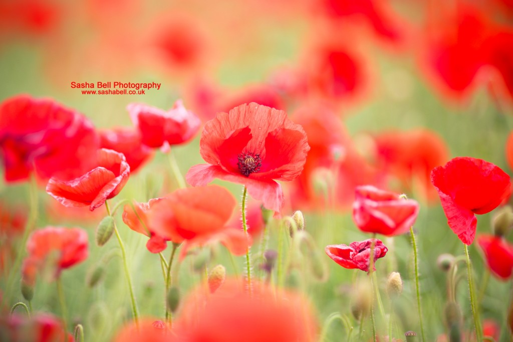 Bright Red Poppies - Day 269/365