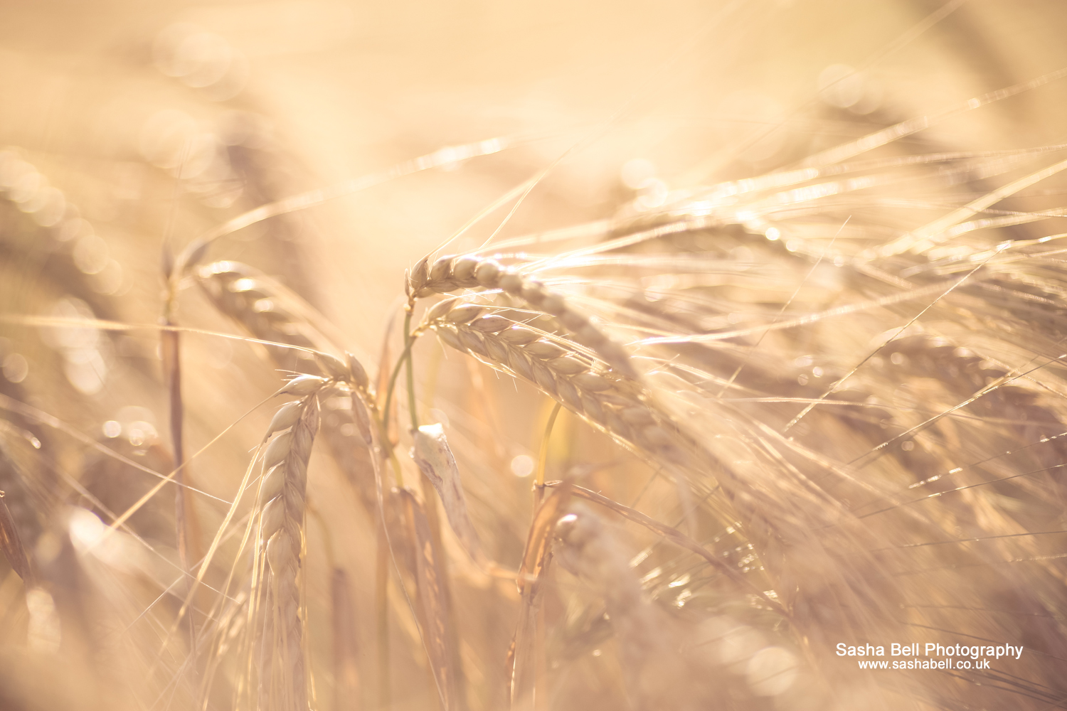 Fields of Golden Barley