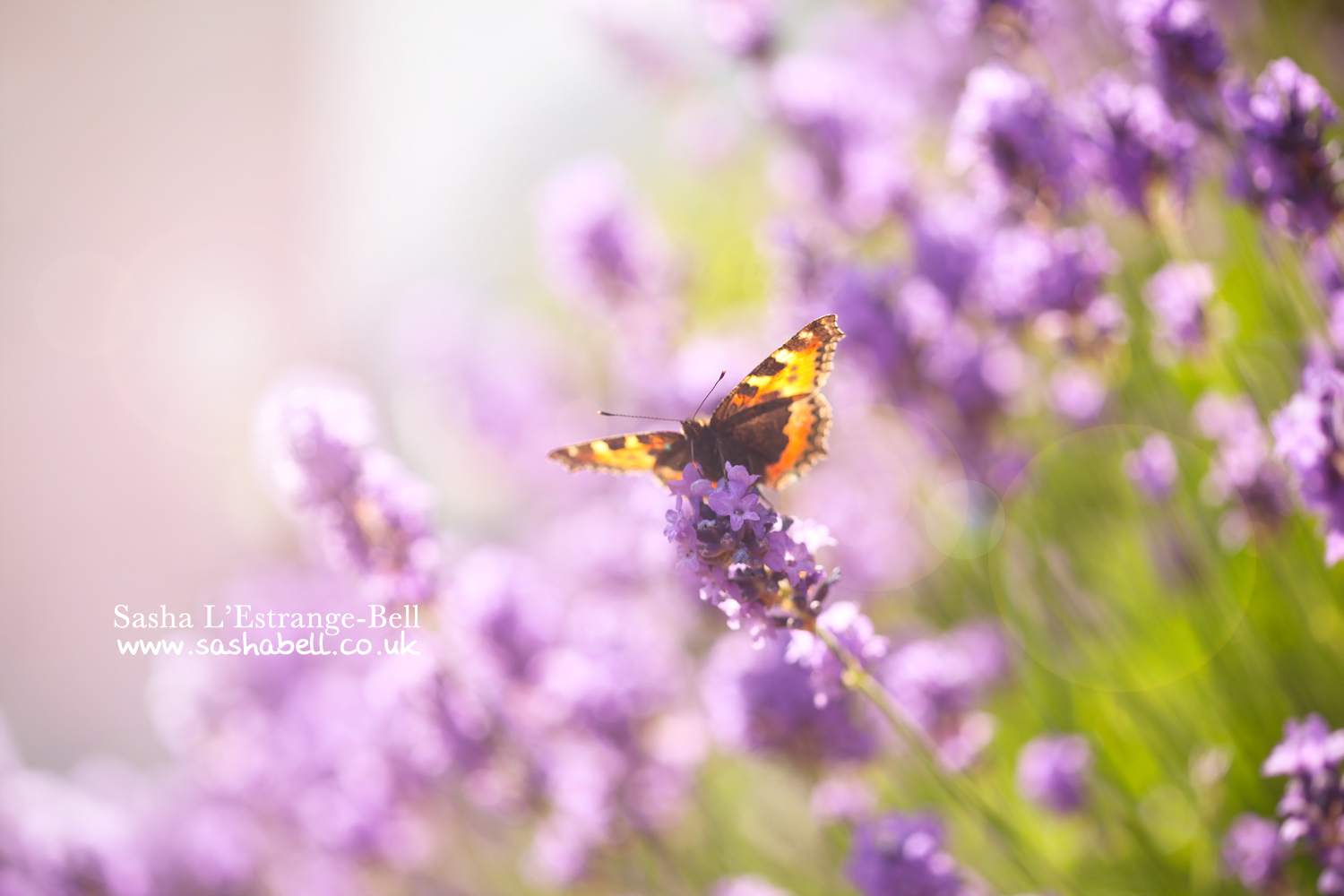 Butterfly on lavender – Day 292/365