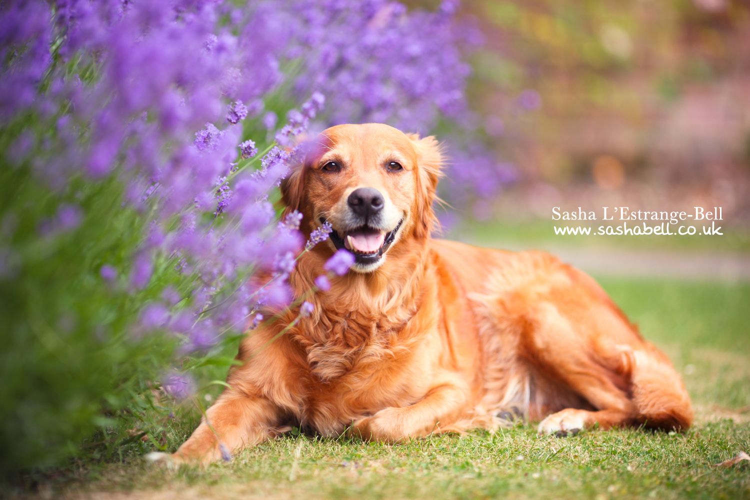 Golden Retriever – Day 295/365