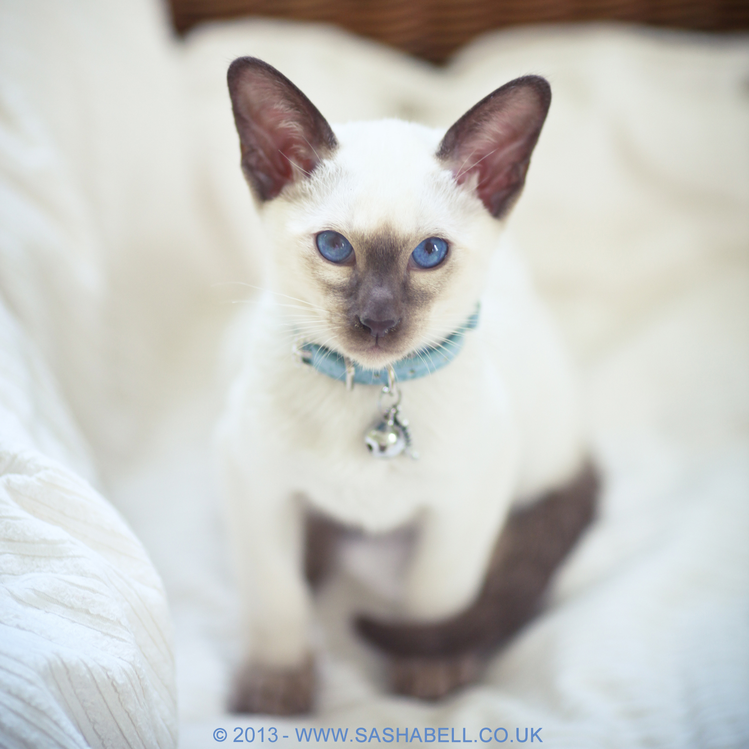 Siamese Kitten – Day 161/365