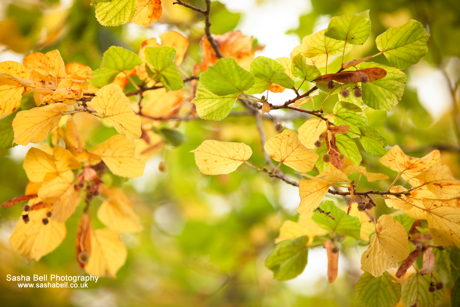 Yellow Autumn Leaves – Day 10/365