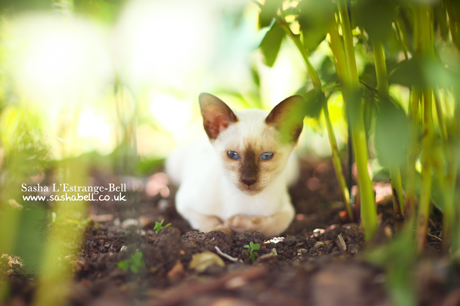 Siamese Kitten – Day 285/365