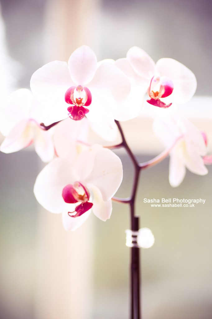 Orchid - Day 196/365