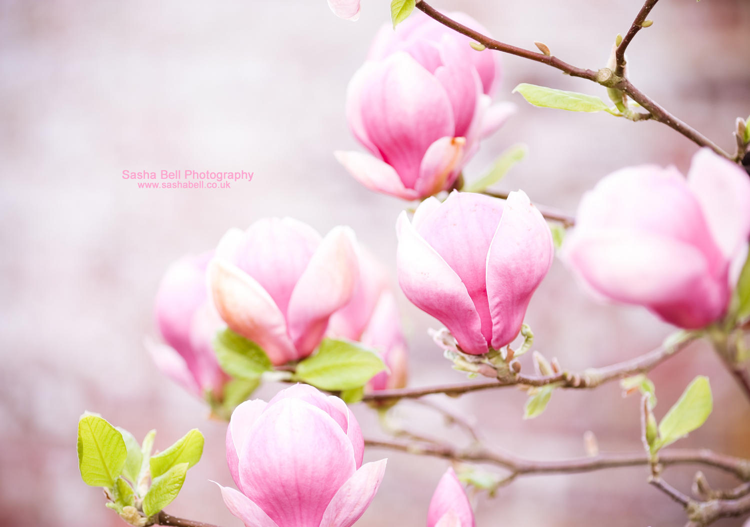 Pink Magnolia – Day 202/365