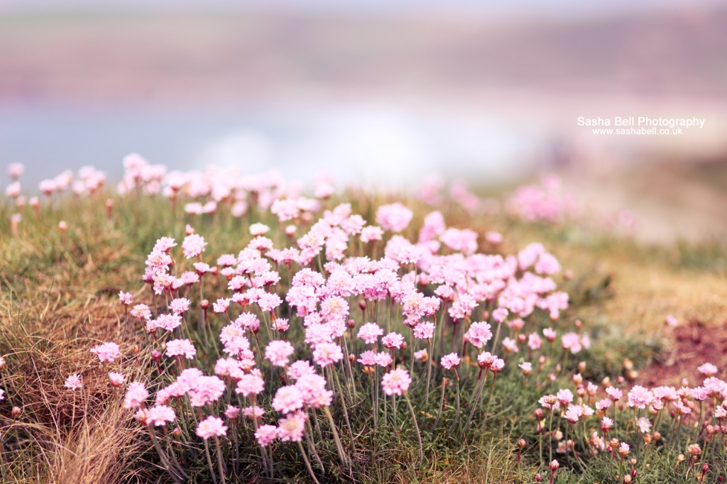Pink Clover - Day 229/365