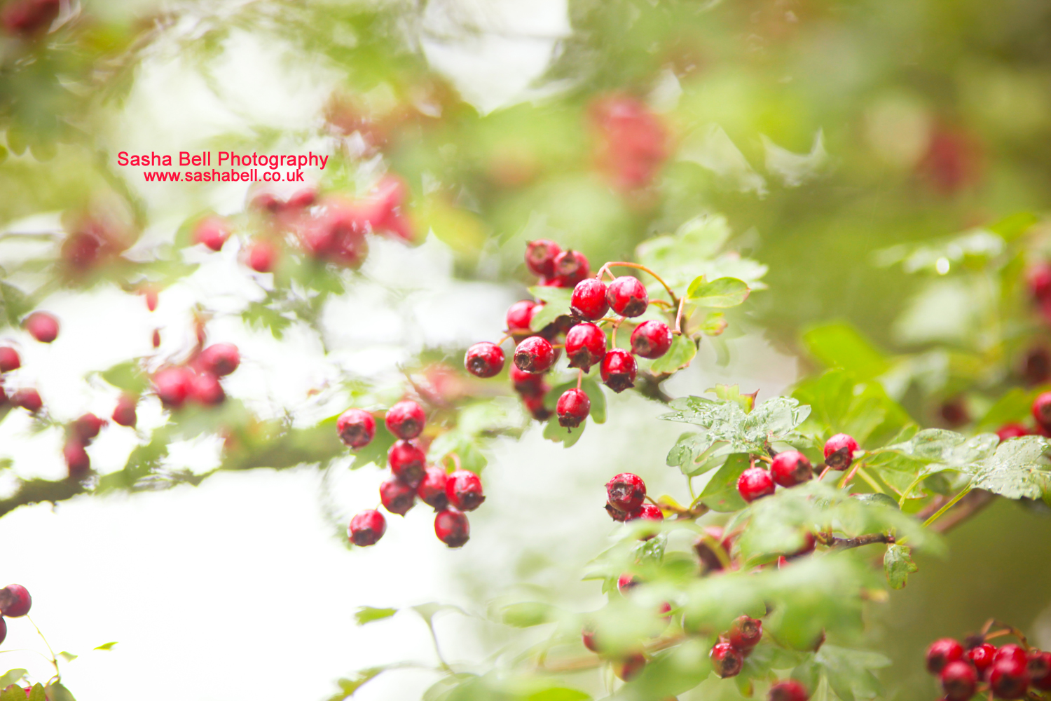 May Tree Berries – Day 12/365