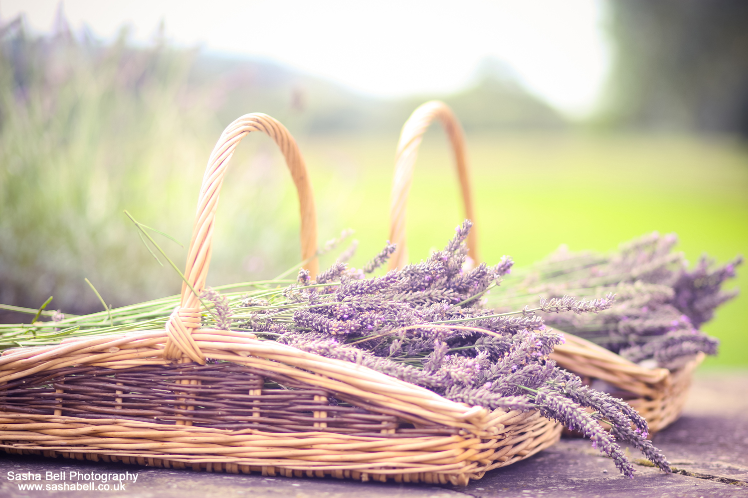 Lavender Harvest – Day 351/365