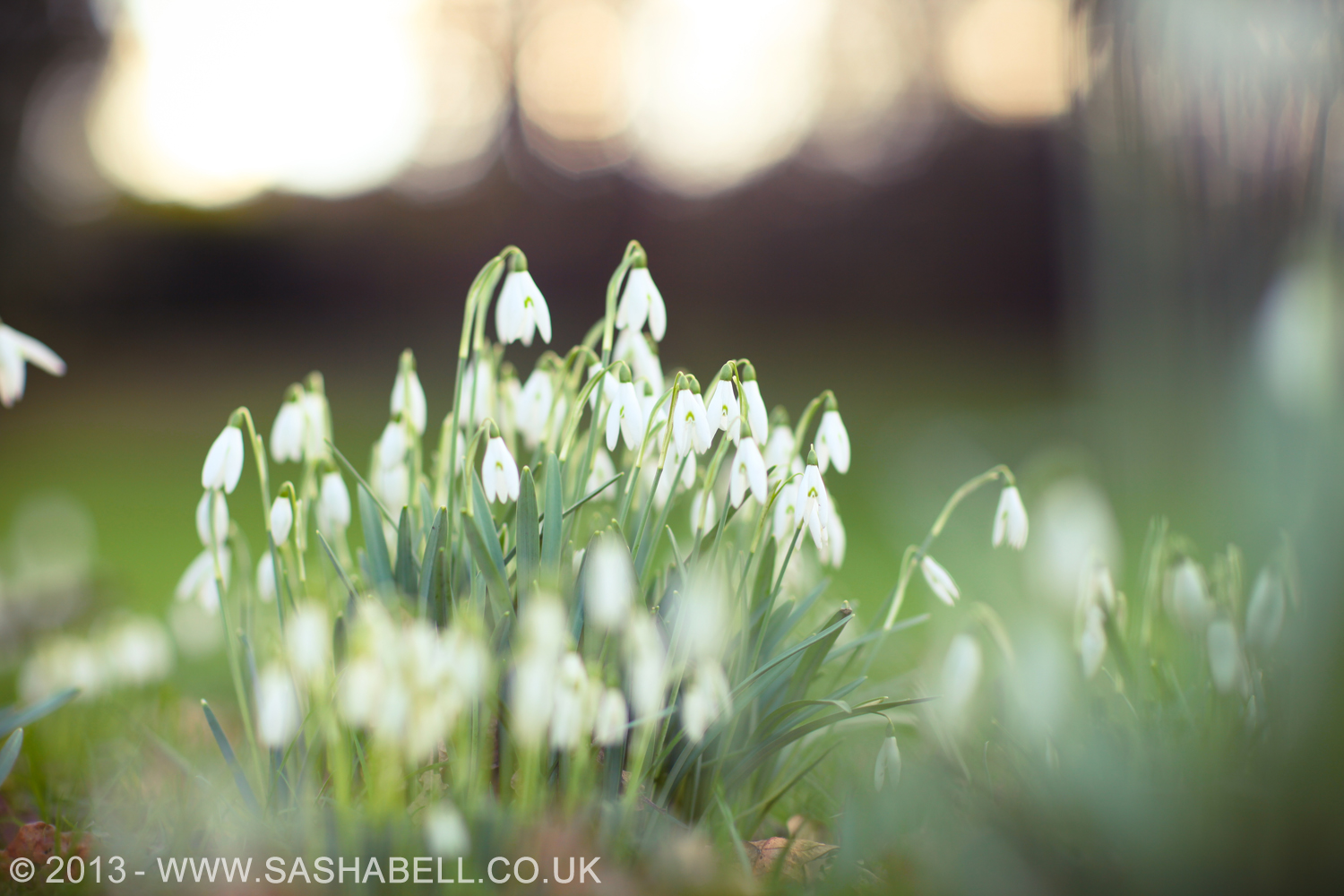 Snowdrops – Day 136/365