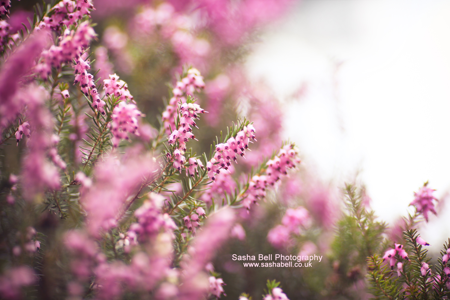 Pink Heather – Day 178/365