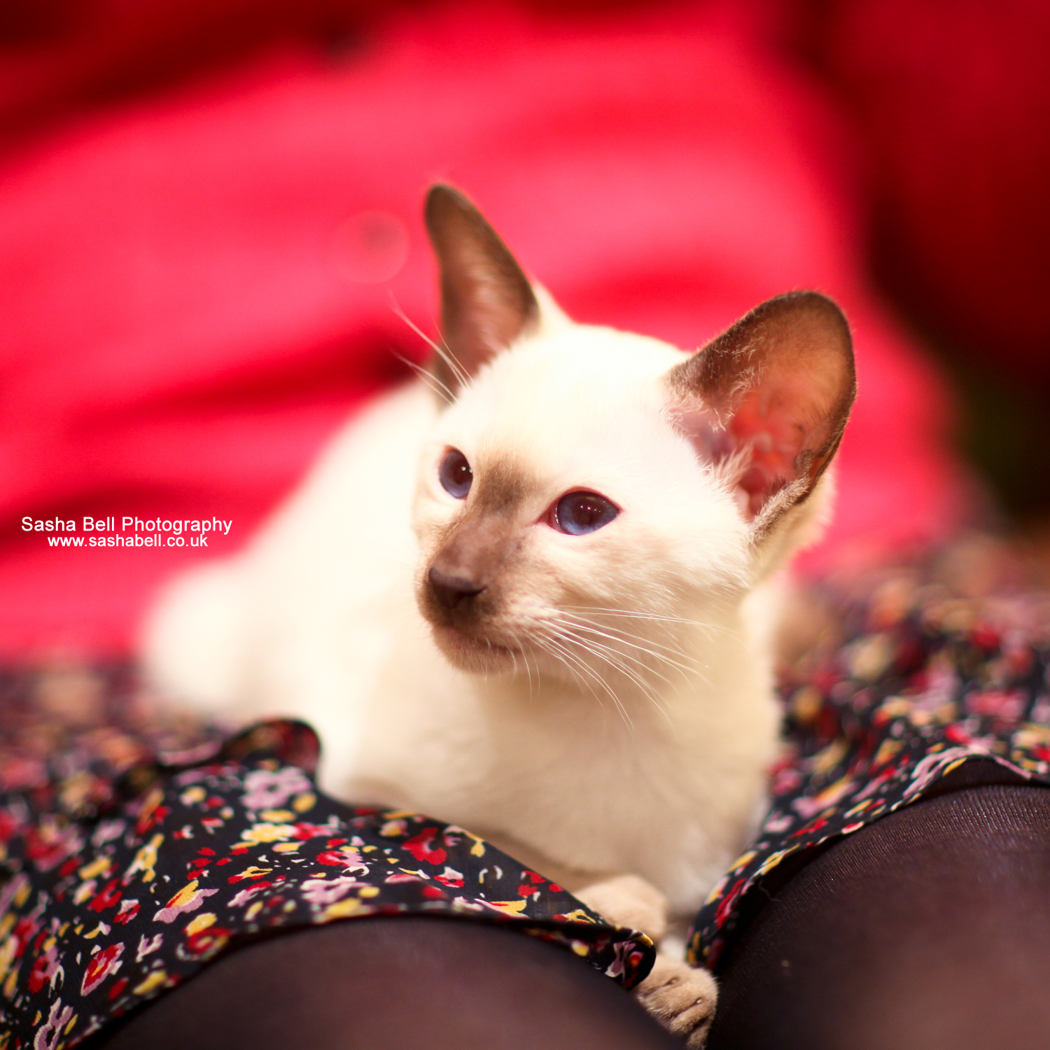 Siamese Kitten – Day 144/365