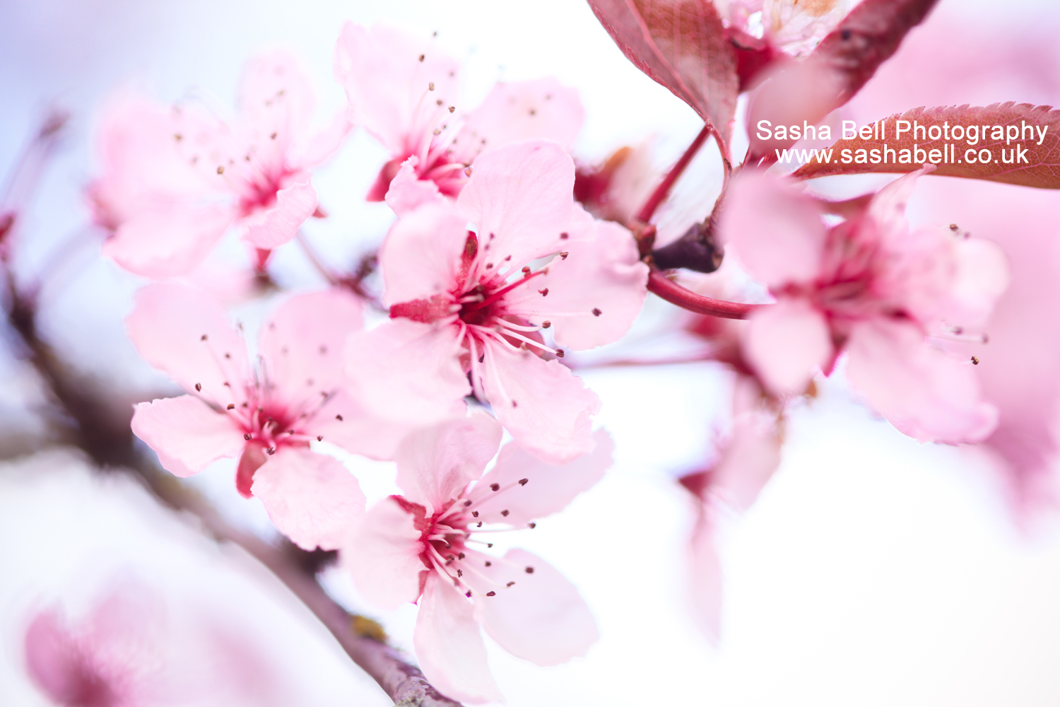 Close-up of Pink Cherry Blossom – Day 200/365