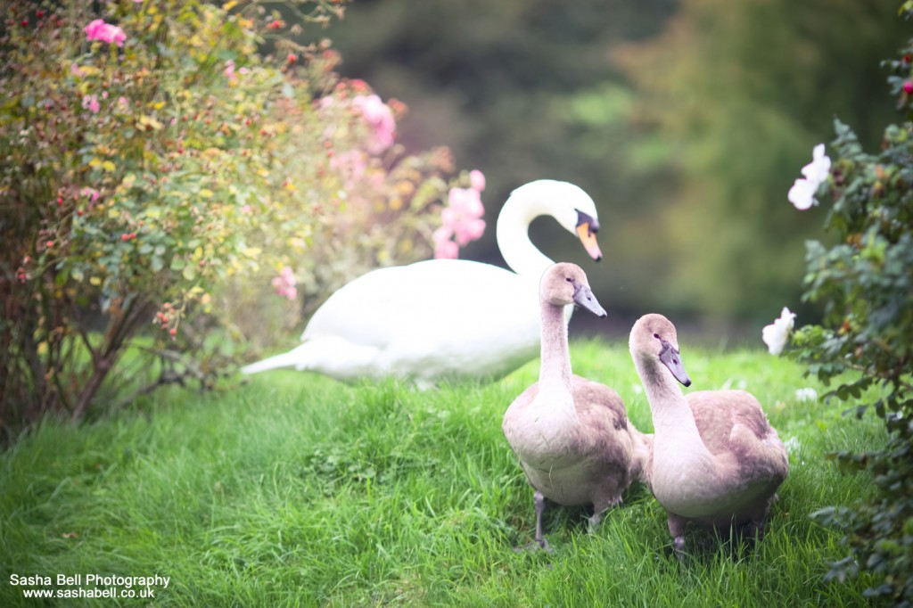 Cygnets In The Autumn #7 of #50