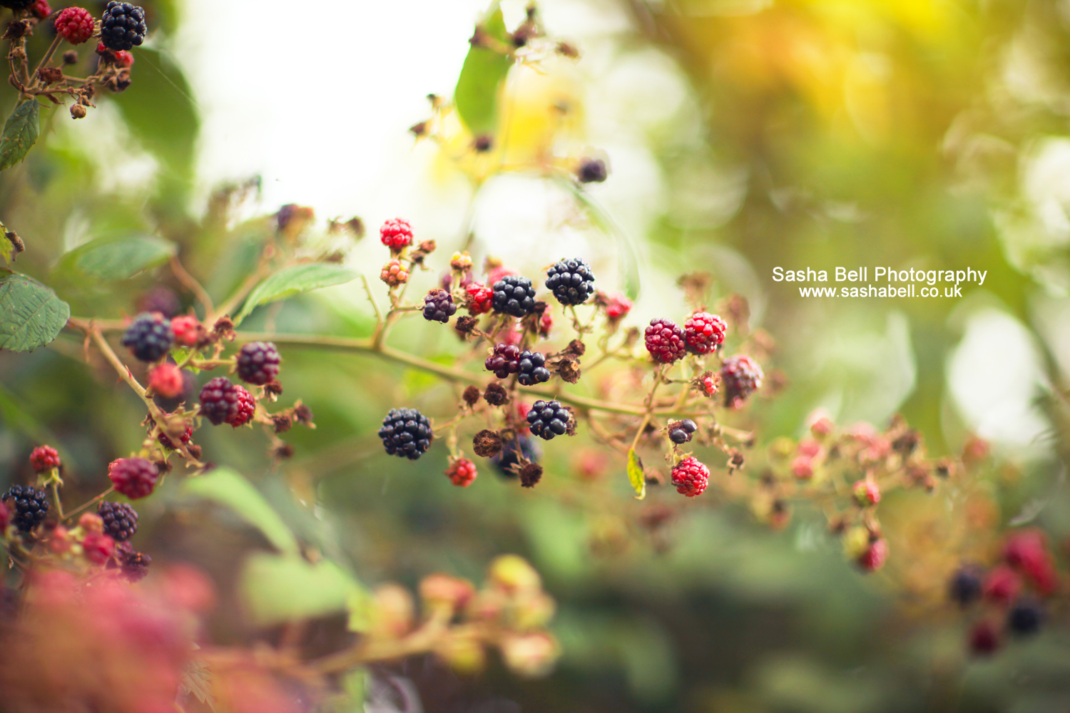 Little Blackberries – Day 24/365