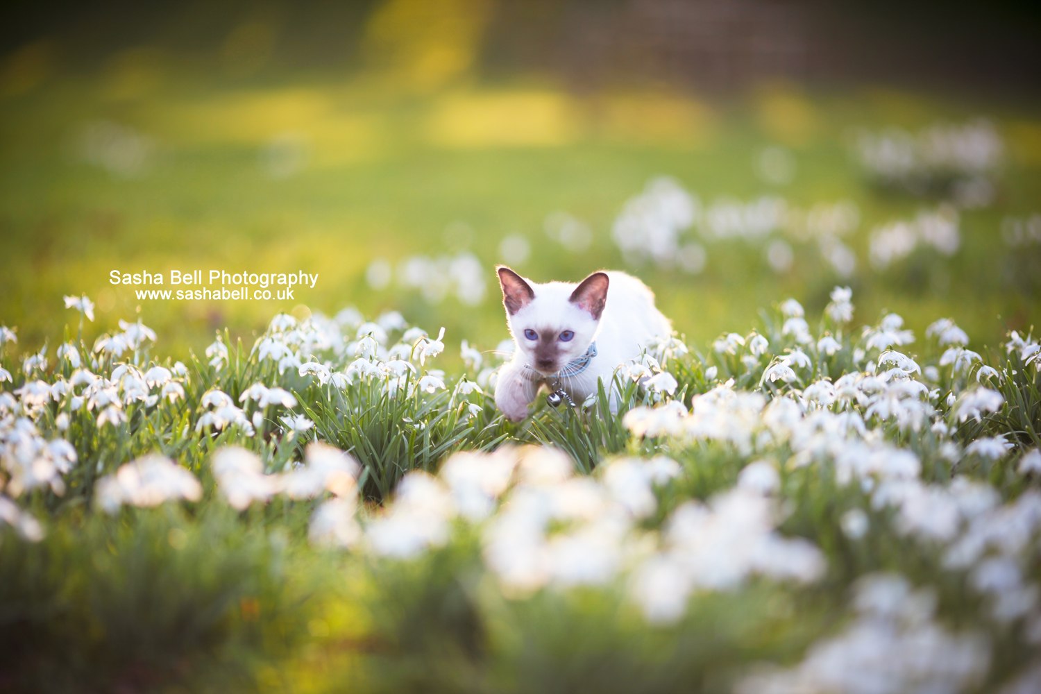 Siamese Kitten In The Snowdrops – Day 161/365