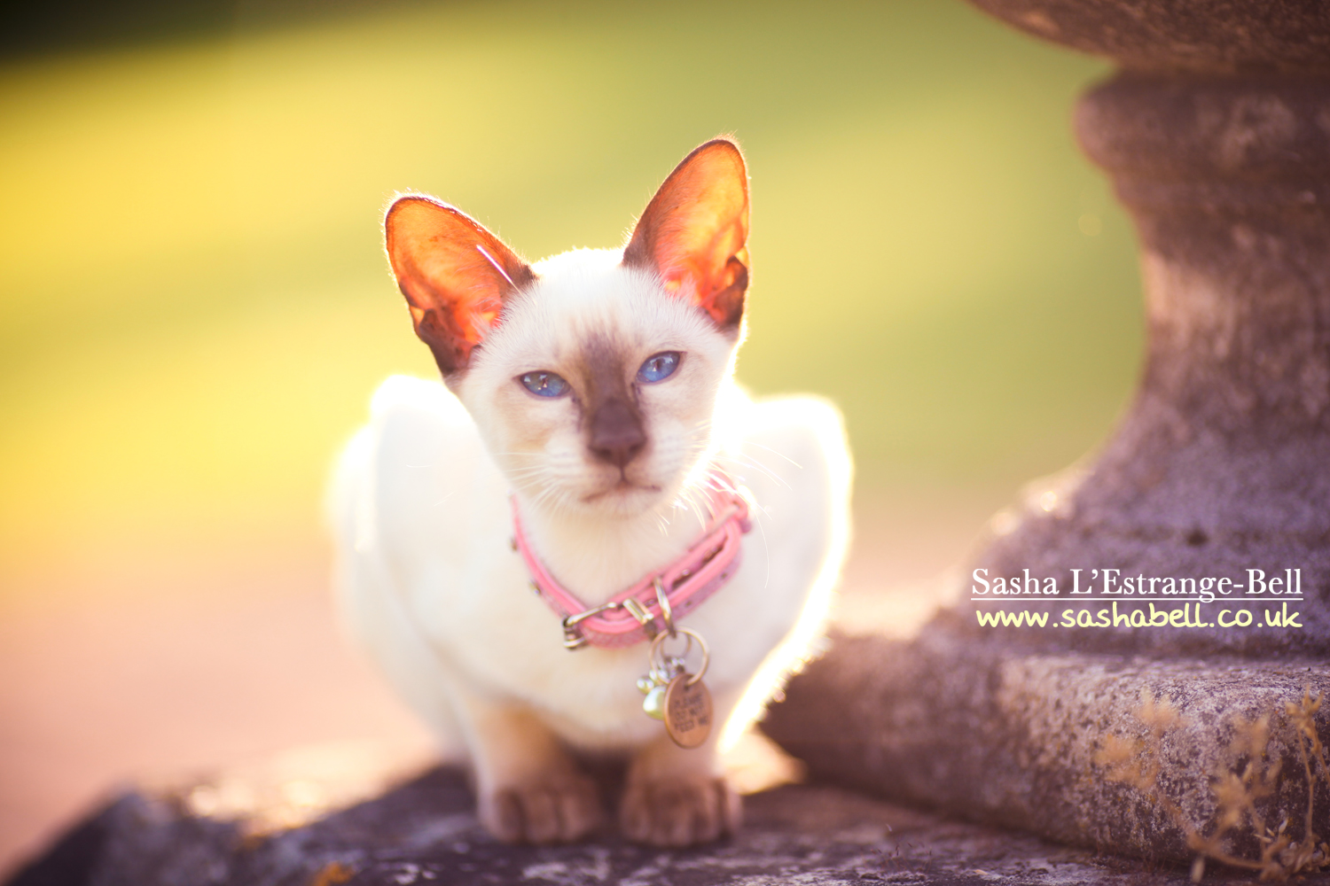 Siamese Kitten – Day 320/365