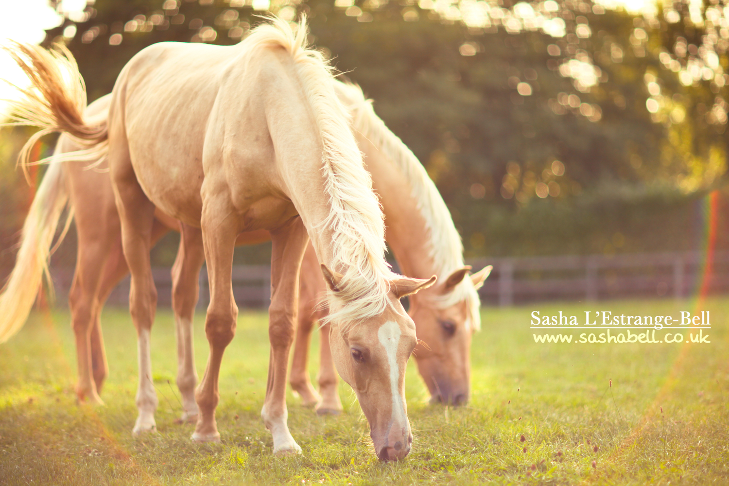 Two Palomino Horses – Day 342/365