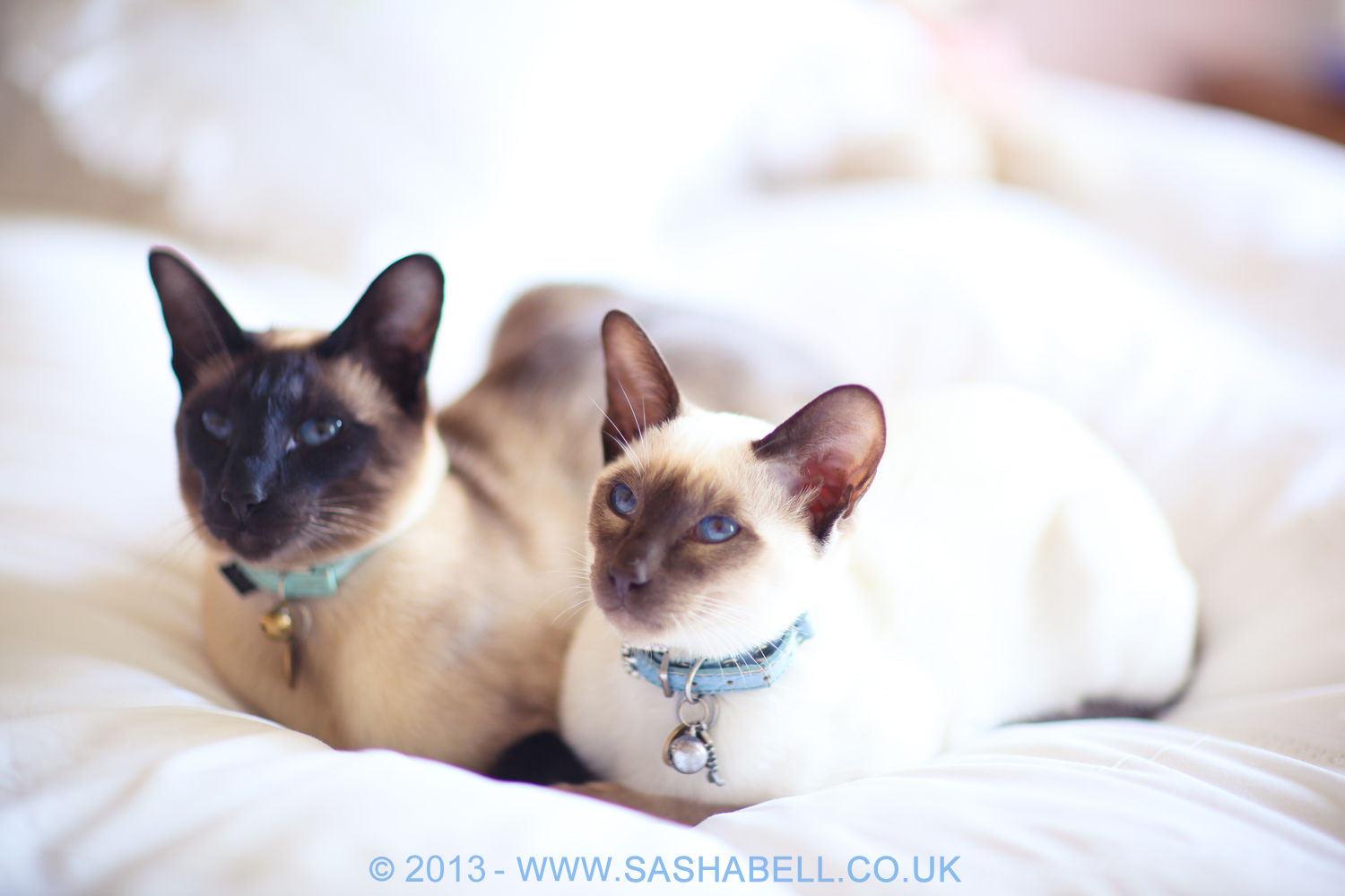 Two Siamese Cats – Day 219/365