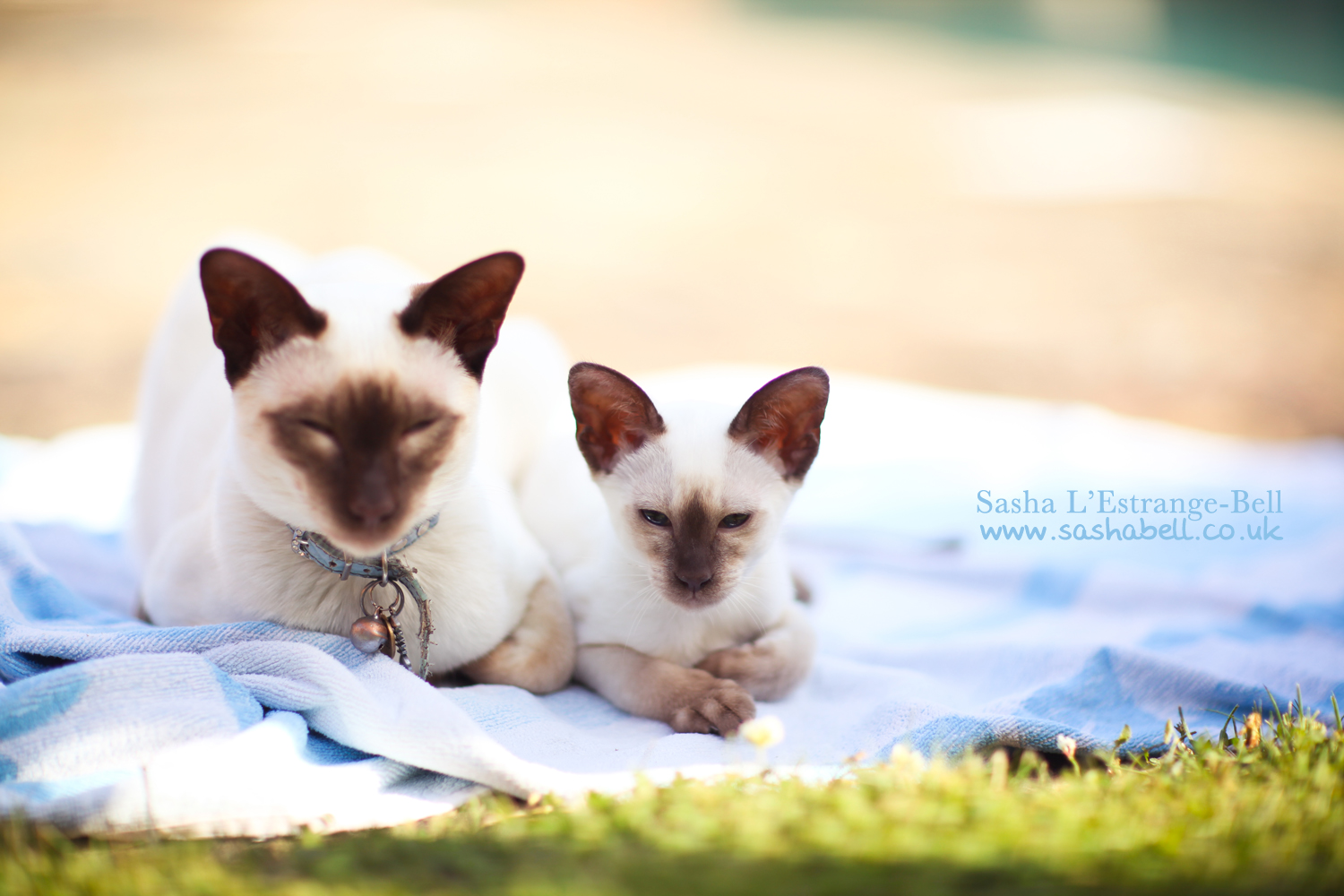 Siamese Chocolate Point Cats – Day 280/365