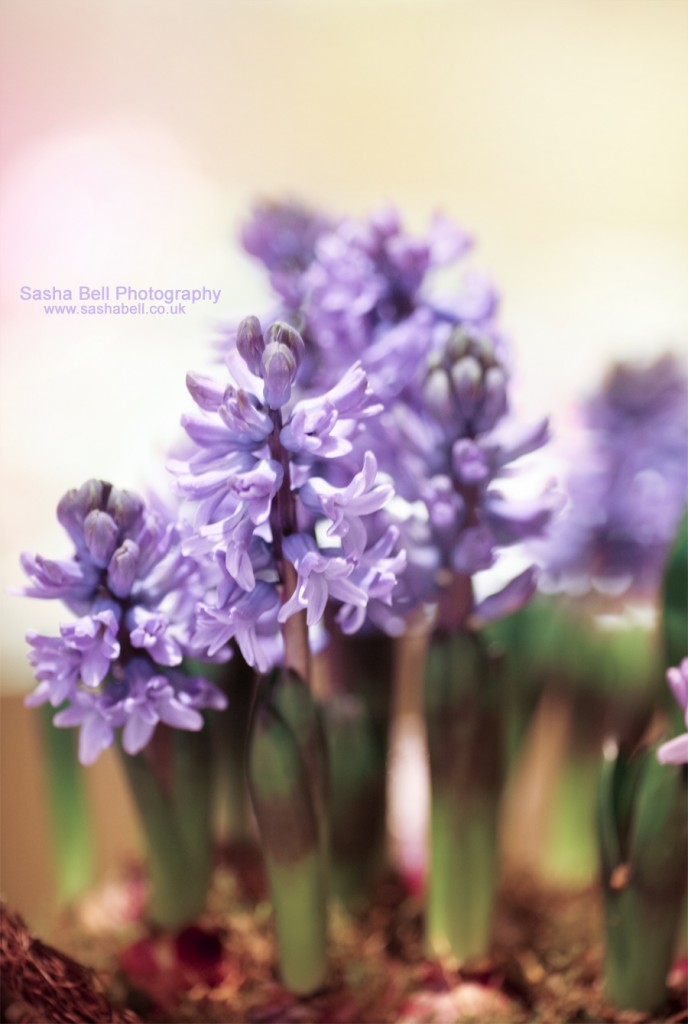 Sweet Little Hyacinths - Day 151/365