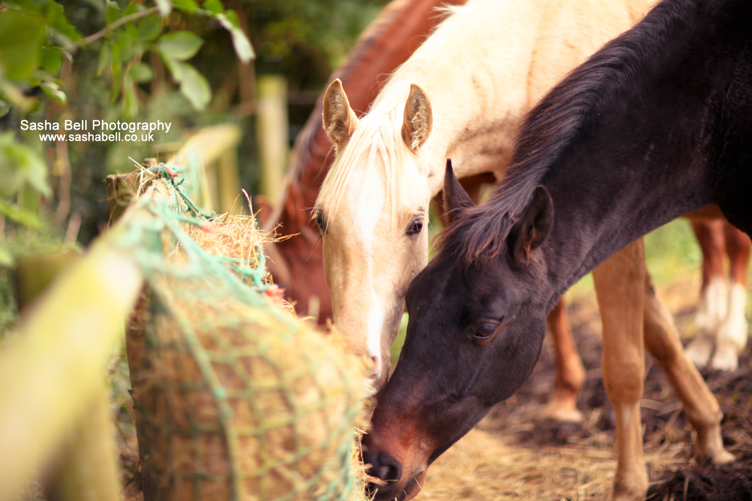 Horses Eating Hay – Day 27/365
