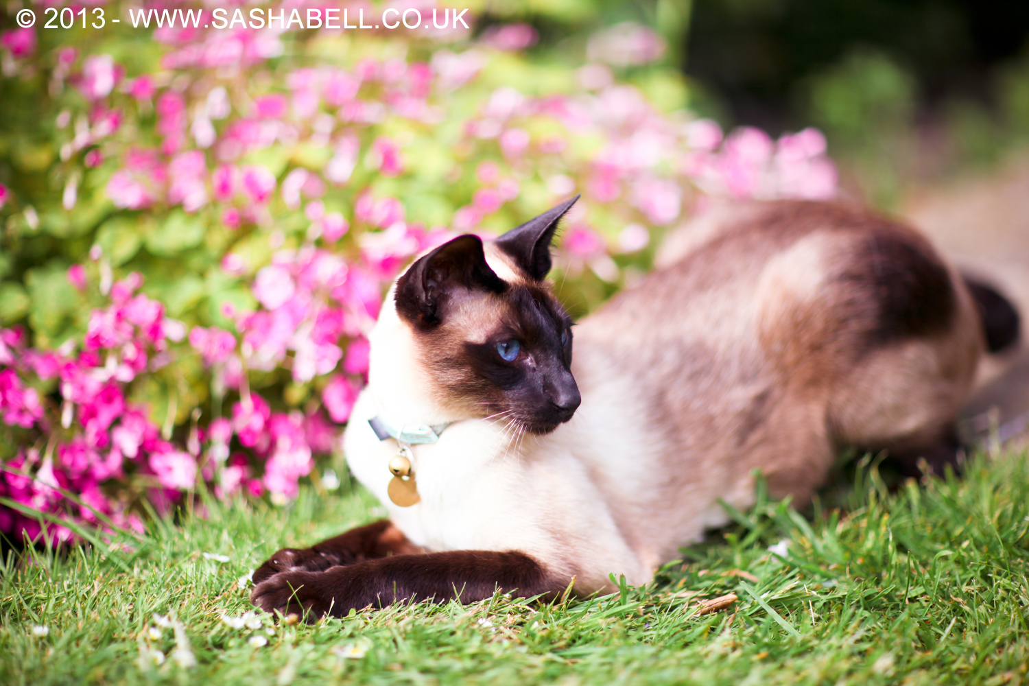 Siamese Seal Point Cat – Day 260/365