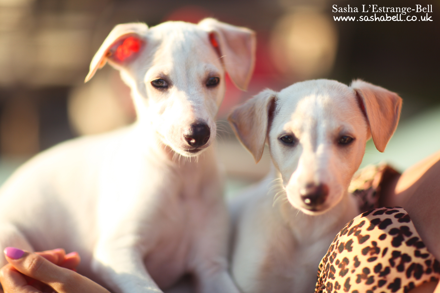 Whippet Puppies – Day 312/365