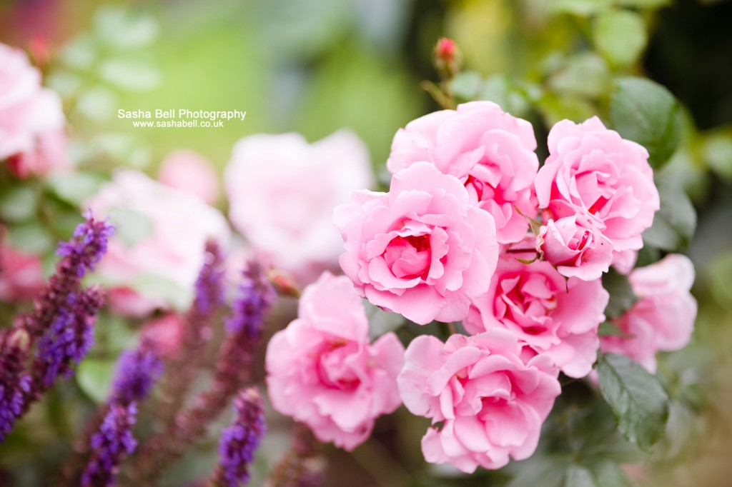 Roses - Day 296/365