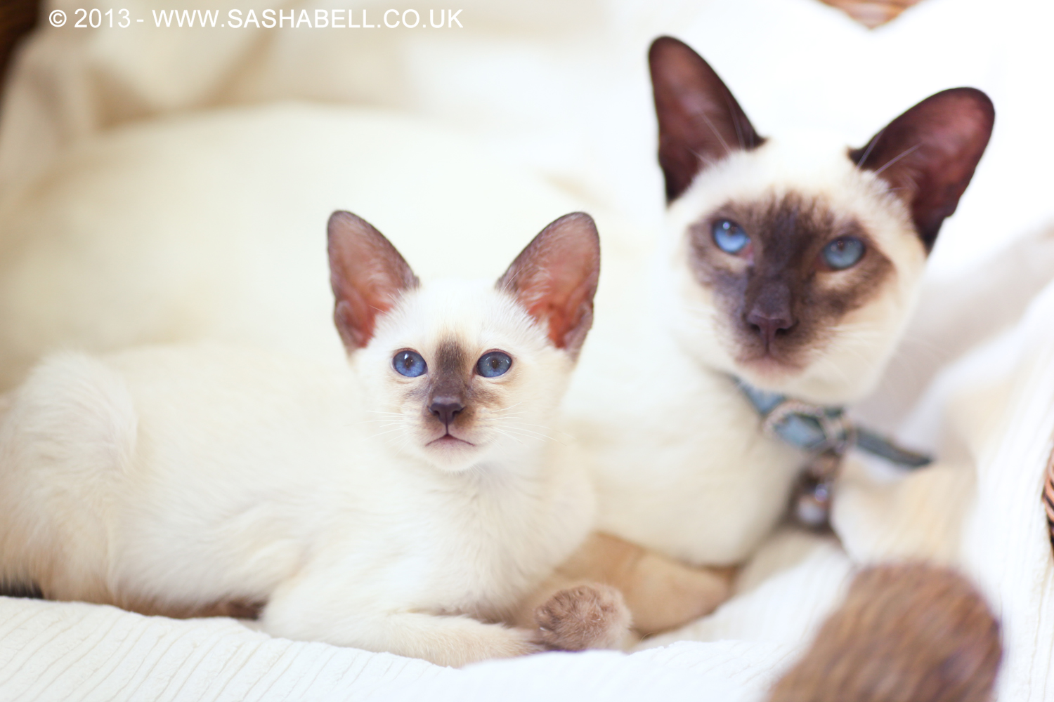 Two Siamese Chocolate Point Cats – Day 255/365